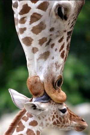 MotherGiraffeKissingBaby